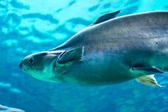 Tubarão, arraia-lixa e outros peixes no mar subaquático de Singapura foto de stock royalty free