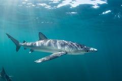 Tubarão azul e luz solar imagem de stock royalty free