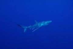 Tubarão azul (glauca do Prionace) Imagens de Stock