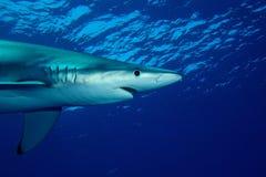 Tubarão azul (glauca do Prionace) Imagem de Stock