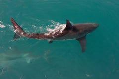 Tubarão branco Fotografia de Stock