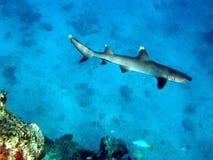 Tubarão branco Fiji do recife da ponta Fotos de Stock