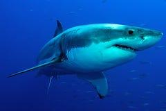 Tubarão branco na água azul imagens de stock