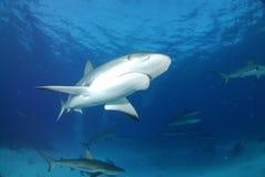 Tubarão cinzento do recife Fotos de Stock