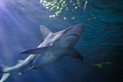 Tubarão cinzento do recife imagem de stock royalty free