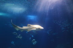 Tubarão da zebra Foto de Stock