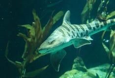 Tubarão da zebra, fasciatum de Stegostoma Imagens de Stock