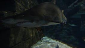 Tubarão de areia do tigre vídeos de arquivo