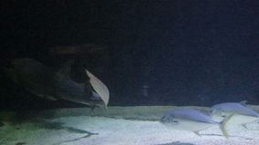 Tubarão de areia que nada baixo video estoque