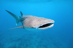 Tubarão de baleia imagem de stock royalty free