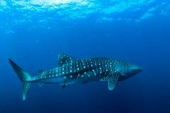 Tubarão de baleia foto de stock