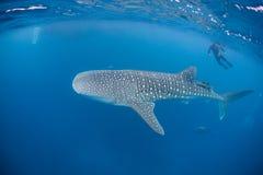 Tubarão de baleia 3 Imagem de Stock
