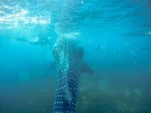 Tubarão de baleia Cebu Imagem de Stock Royalty Free