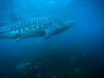 Tubarão de baleia Cebu Fotos de Stock Royalty Free