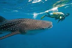 Tubarão de baleia e fotógrafo subaquático fotografia de stock royalty free