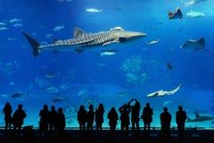 Tubarão de baleia e raias de manta do aquário de Okinawa Fotografia de Stock Royalty Free
