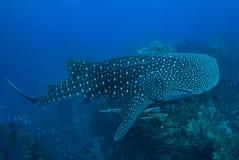 Tubarão de baleia na rocha de Richelieu, Andaman norte, Imagens de Stock Royalty Free