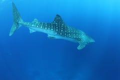 Tubarão de baleia no Mar Vermelho fotografia de stock royalty free