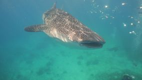Tubarão de baleia no oceano video estoque