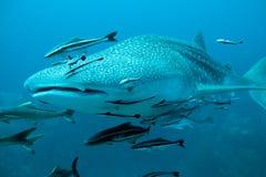 Tubarão de baleia que nada à câmera Fotos de Stock Royalty Free