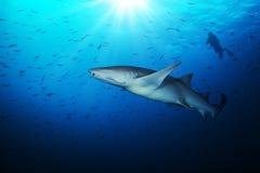 Tubarão de Bonnethead com a silhueta do mergulhador de mergulhador Fotografia de Stock Royalty Free