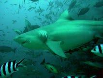 Tubarão de Bull Fotografia de Stock