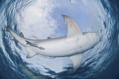 Tubarão de circundamento fotografia de stock