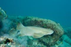 Tubarão de enfermeira Fotografia de Stock Royalty Free