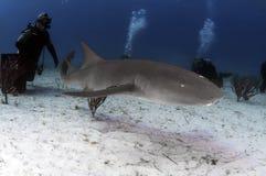 Tubarão de enfermeira Imagens de Stock