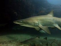 Tubarão de Grey Nurse Fotografia de Stock