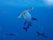 Tubarão de Hammerhead Fotografia de Stock Royalty Free