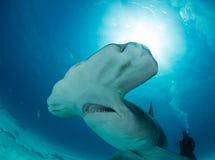tubarão de hammerhead no Bahamas Imagens de Stock