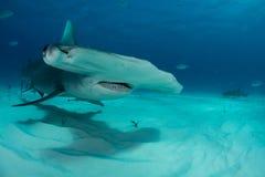 tubarão de hammerhead no Bahamas Fotografia de Stock Royalty Free
