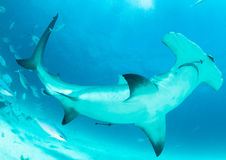 tubarão de hammerhead no Bahamas Fotos de Stock
