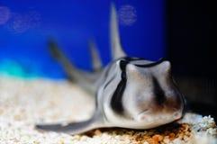 Tubarão de Lepoard Fotos de Stock