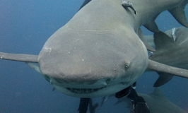Tubarão de limão fotografia de stock royalty free