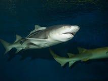 Tubarão de limão com sharksucker vivo Foto de Stock