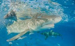 Tubarão de limão no Bahamas foto de stock royalty free