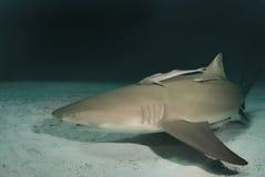 Tubarão de limão no crepúsculo Foto de Stock Royalty Free