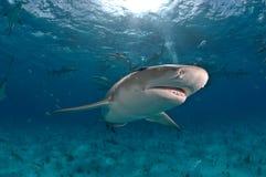 Tubarão de limão solitário Fotografia de Stock Royalty Free