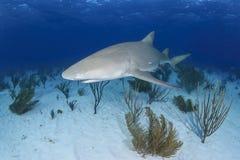 Tubarão de limão de solo que nada sobre Sandy Ocean Bottom imagens de stock