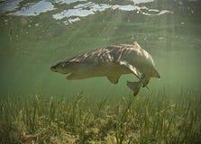Tubarão de limão subaquático com a boca aberta imagens de stock royalty free