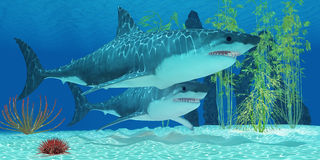 Tubarão de Megalodon do Pleistocene Fotografia de Stock