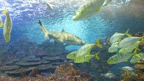 Tubarão de san do tigre. Peixes subaquáticos video estoque