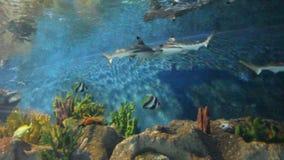 Tubarão de san do tigre. Peixes subaquáticos filme
