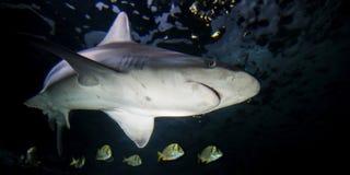 Tubarão de Sandbar e peixes tropicais Imagem de Stock Royalty Free