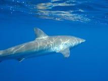 Tubarão de seda na água azul clara, Jardin de la Reina, Cuba Fotografia de Stock