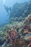Tubarão de tapete de Wobbegong Imagem de Stock