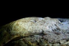 Tubarão de tapete de Wobbegong fotos de stock royalty free