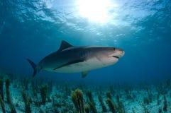 Tubarão de tigre Foto de Stock